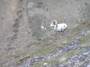 The beauty of wild sheep.